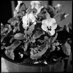 Pansies in a Bucket (Davidap2009) Tags: blackandwhite flower 6x6 mediumformat blackwhite hasselblad davidwilliamson homemadesoup carlzeissplanar80mmf28 hasselblad203fe 16eextensiontube rollei80s caffenolcl silverefexpro2