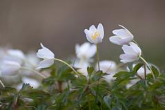 White Spring Flowers (mmoborg) Tags: sweden sverige mmoborg mariamoborg