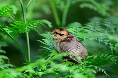Little one (Gamtosfoto - Andrius Čeponis) Tags: bird nature hazelgrouse bonasabonasia nikond7000