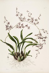 n101_w1150 (BioDivLibrary) Tags: guatemala mexico orchidaceae plants missouribotanicalgardenpeterhravenlibrary bhl:page=769217 dc:identifier=httpbiodiversitylibraryorgpage769217 taxonomy:binomial=incidiumincurvum womeninscience artist:name=augustainneswithers artist:viaf=95819243 augustainneswithers q2870951 illustrator:wikidata=q2870951 hernaturalhistory