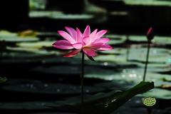 IMG_3000A (HL's Photo) Tags: urban nature lily lotus    flwoer macroflower