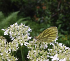 "Green-veined White Butterfly • <a style=""font-size:0.8em;"" href=""http://www.flickr.com/photos/57024565@N00/7177291805/"" target=""_blank"">View on Flickr</a>"