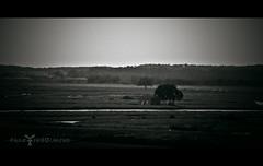 Le Bayou Vendéen en noir et blanc (Fauve - Photographie) Tags: white black france tree home landscape noir bayou swamp maison marais arbre blanc vendée paysdelaloire jardsurmer marécagemarsh