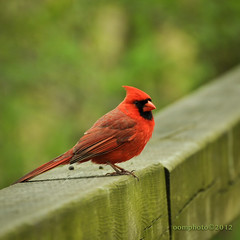 Happy Monday!!! (oomphoto) Tags: red bird cardinal feathers redbird northerncardinal nikond90 dsc04883