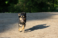 Smiley Buster (Pawsome33) Tags: dog chihuahua highpark