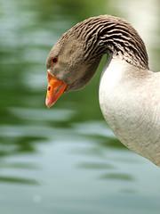 Greylag Goose (cissowski) Tags: portugal water spring lisbon olympus goose e3 zuiko woda wiosna lizbona ges greylag portugalia gegawa zuikoom135mmf28 cissowski