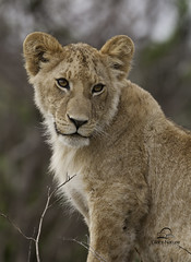 Last Look from Lion Cub on a Dirt Mound, Kenya (Glatz Nature Photography) Tags: africa cub kenya lion predator bigcats spg masaimara babyanimals supershot africa2011 photocontesttnc12 bestofafrica2011 spgafrica2011