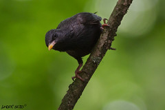 Estorninho-preto (afmbrito) Tags: bird canon starling aves andr spotless vilareal brito estorninho sturnusunicolor estorninhopreto armandocaldas 052012 httpasasebicoswordpresscom andrbrito