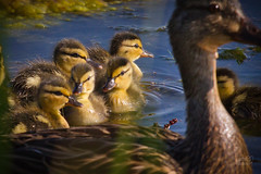 mallard with new new babies cottonwood marsh boulder co-20120520-21.jpg (Cathy andersen) Tags: colorado babies wildlife boulder anasplatyrhynchos mallardduck waldenponds cottonwoodmarsh cathyandersen