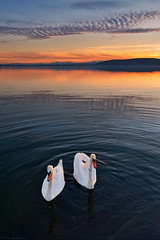 Swan lake (Nick-K (Nikos Koutoulas)) Tags: sunset lake clouds swan swans  kastoria