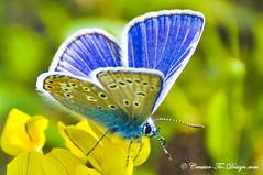 Blue Butterfly, Papillon Bleu (Christian Picard) Tags: blue paris france butterfly french nikon christian bleu papillon picard d90 colorphotoaward