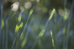 (drfugo) Tags: light sunset summer blur green spring bokeh canon5d rays daffodils hbw helios44258mmf20 totallylayonahollyleaf whichhurtsicantellyou