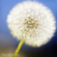 Taraxacum (Voss-Nilsen) Tags: flowers plants white plant flower macro nature oslo norway digital canon plante square botanical photography norge photo foto natur norden dandelion nordic scandinavia planter makro blomst squared macroshot dandelions blomster naturbilder nrbilde botanisk maskros lvetann skandinavia naturen makrofoto mlkebtte naturbilde digitalfoto makrobilde nrbilder kvadratisk botanikk oslobilder lvetenner vossnilsen