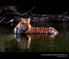 Tiger2 (Smevin Paul - Thrisookaran!) Tags: park tiger reserve national bandipur