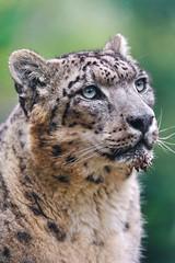 Snow leopard looking up (Tambako the Jaguar) Tags: wild portr