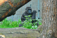 Gorilla watching you closely (Martijn Nijenhuis) Tags: zoo nikon gorilla arnhem burgers martijn dierentuin nijenhuis d90 afsvr70300f4556gifed
