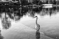 Hyde Park Heron (E_O_S) Tags: park uk travel london monochrome europe hyde finepix fujifilm uklondon x100