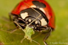 C. 7-punctata feeding on A. pisum ([[BIOSPHERE]]) Tags: uk macro nature garden insect feeding ladybird prey predator aphid septempunctata coccinella mpe pisum 7punctata aphis 7spot acyrthosiphon fabae macrolife septempuncta