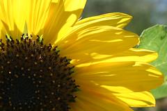 Sunflower (lars hammar) Tags: park arizona flower nature yellow tucson sunflower tohonochul