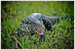 Reptilians (Alexandre Eggermont) Tags: voyage travel argentina animal brasil d50 nikon reptile nikond50 discovery iguazu foz iguacu reptilian 5photosaday flickraward lezard decouverte