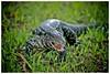 Reptilians (Alexandre Eggermont) Tags: voyage travel argentina animal brasil d50 nikon reptile nikond50 discovery iguazu foz iguacu reptilian 5photosaday flickraward lézard découverte
