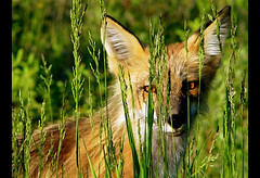 Fox (Darlene Mulligan) Tags: canada fall grass wildlife manitoba fox grasses darlene visual mulligan whiteshell redfox westhawk chikak visualproductions