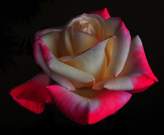 The Gemini Rose