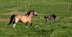 Guacamole de Coise (Laura_Photographie) Tags: wild horse cute liberty cheval pony libert animaux hapiness mignon sauvage poulain poney heureux jument quid quin