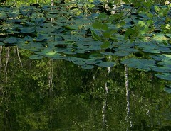 Lily pads over trees reflected in water. (Gerald Barnett) Tags: blue trees summer greenleaves usa reflection green art nature water pool beautiful beauty leaves rural reflections outdoors leaf illinois pond scenery mood peace waterlily outdoor hiking availablelight secret scenic peaceful tranquility atmosphere naturallight calm foliage hidden reflected waterlilies pools shade serenity serene summertime aquatic stillwater inspirational ponds contemplative tranquil aquaticplants bestpicture waterplants secluded waterscape waterreflections intheshade shadowsandlight southernillinois bestpic lightandshade mirrorpool artpic bestphoto reflectionsinwater reflectionsonwater naturalcolor greenfoliage outdoorphotography perfectpicture poetryinnature pondscape deepshade perfectpic