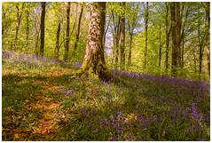 A Coppice Of Blue (Amanda Wade Photography) Tags: flowers blue trees nature bluebells forest canon colours fineart naturallight northernireland filters naturalbeauty pathway forestpath lees fineartphotography naturephotography forst naturesbeauty sunthroughtrees bluebellforest canonphotography flowersinbloom graduatedndfilter canon6d bluebellflowers forestofblue naturewalkswithcamera
