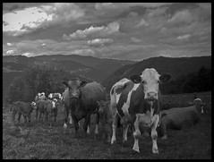 ERSTER TAG AUF DER WEIDE . FIRST DAY AT PASTURE (LitterART) Tags: freedom austria cow sterreich weide nikon cows pasture herd steiermark khe vaches styria freiheit herde kuhherde p330 hiening