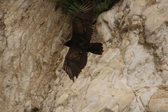 IMG_4574 (californiajbroad) Tags: bird nature turkey outdoors wildlife vulture