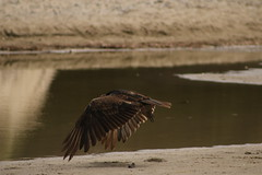 IMG_4569 (californiajbroad) Tags: bird nature turkey outdoors wildlife vulture