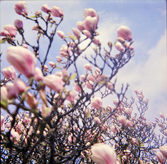 magnolia blossoms, Klosterhof Itzehoe (Juliet Alpha November) Tags: color 120 6x6 analog germany spring lomo lomography jan blossoms rangefinder negative 400 medium format analogue holstein frhling itzehoe blten schleswig klosterhof mittelformat sucherkamera meifert