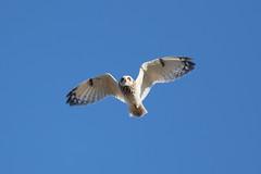 Short-eared Owl at Søraneset S24A8784 (grebberg) Tags: bird norway owl april jæren rogaland asio 2016 klepp shortearedowl asioflammeus jordugle søraneset