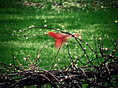 Wings 5/13/16 (dianecordell) Tags: birds flying spring wings backyard flight may quotes grapevine cardinals queensburyny