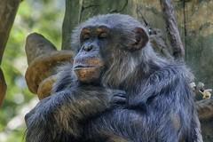 """Om"" (ucumari photography) Tags: animal mammal zoo nc chimp jonathan north may carolina chimpanzee primate greatape 2016 pantroglodytes specanimal ucumariphotography dsc1995"
