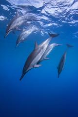 Spinners Diving (Lance Sagar) Tags: ocean blue sea usa water island hawaii big underwater pacific sony freediving dolphins hawaiian housing hi apnea spinner cetaceans inon ikelite rx100