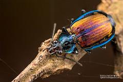 Ground beetle (Physodera eschscholtzii) - DSC_2900 (nickybay) Tags: macro singapore beetle ground carabidae chestnutavenue eschscholtzii lebiini lebiinae physodera