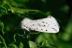 White Ermine Moth - Spilosoma lubricipeda (tsbl2000) Tags: whiteerminemoth spilosomalubricipeda tamron90mmmacro nikond810 seafordhead sussexwildlifetrust naturethroughthelens