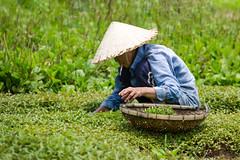 Farmer (Gigin - NoDigital) Tags: people woman green nature colors grass hat other asia cigar an vietnam clothes hoian geography hoi vn qungnam tphian