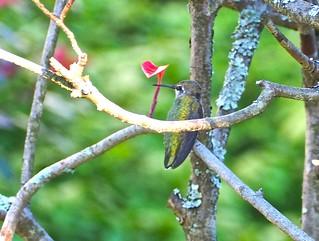 Happy Hummingbird on a Branch (Explore #208, June 26/2016) .
