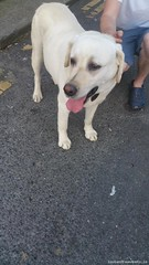 Tue, May 31st, 2016 Found Male Dog - Newbridge College, Newbridge, Kildare (Lost and Found Pets Ireland) Tags: dog college found may newbridge kildare 2016 founddognewbridgecollegekildare