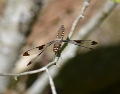 Common Whitetail female (tapaculo99) Tags: animal insect vermont dragonfly whitetail commonwhitetail plathemislydia