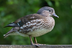 Mandarin Duck (Kevin B Agar) Tags: mandarinduck britishbirds adeldam