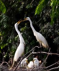 Greeting at the nest (overthemoon3) Tags: summer baby bird nature wildlife nesting egrets wildlifephotography egretrookery