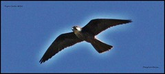 IMG_1056-cropPGN FALC (ryancarter2012) Tags: cal falcon menorca peregrine galdana