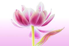 Tulip (Sandylp1) Tags: flower macro tulip sonyalpha flowersasart topazsoftware sonya7rii