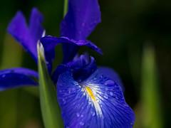 Blue Iris with droplets (Unni Henning) Tags: blue iris summer england macro rain closeup garden droplets blossom warwickshire