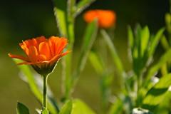 in the garden (JoannaRB2009) Tags: flowers garden nature summer sunny plants closeup d lodz polska poland